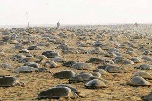 Por la ausencia de turistas, miles de tortugas invadieron una playa de India