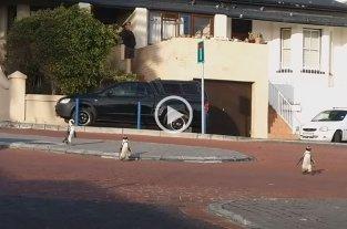 Video: Pingüinos se pasean por las calles vacías de Sudáfrica