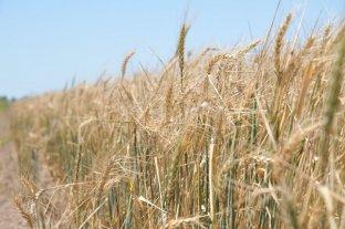 Se espera una excelente campaña de trigo