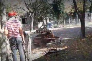 """Investigan si un hombre golpeó a una yegua hasta matarla - Las imágenes reflejan el castigo al que fue sometido el equino y no coinciden con lo declarado por el """"amansador"""" y el dueño del campo donde ocurrió el hecho.  -"""