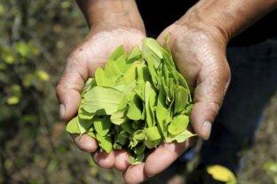 Presentan un proyecto para legalizar el cultivo y la comercialización de hojas de coca