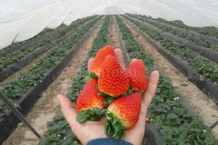 Polémica en Coronda: piden prohibir trabajadores chaqueños en la cosecha de frutilla