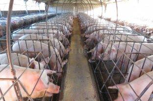 Evalúan anticuerpos contra virus de aftosa en cerdos