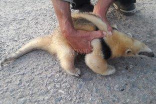 Rescataron a un oso melero en el norte provincial -  -