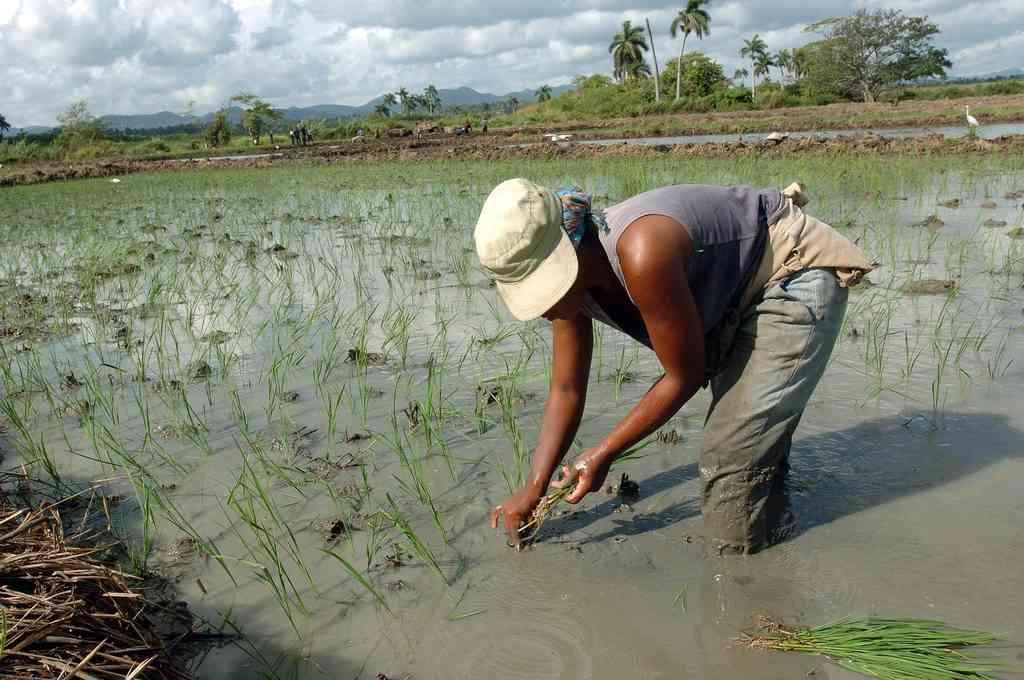 Una campesina cubana siembra arroz en la provincia de Pinar del Río, unos 120 kms al oeste de La Habana (Cuba). Crédito: EFE