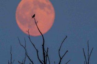 """Llega la """"Luna de Fresa"""", el eclipse que se podrá ver este viernes desde Argentina"""
