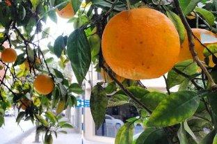 San Miguel de Tucumán promueve el consumo de naranjas agrias públicas