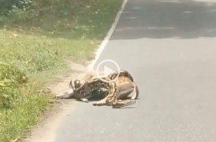 Polémica animalista por el video viral de la pitón que se come a un ciervo
