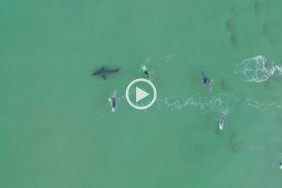 Video: Un enorme tiburón blanco se acercó a surfistas en Sudáfrica