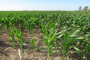 Los desafíos del maíz, en modo virtual