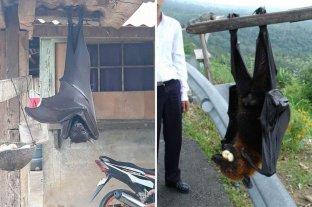 Impactantes fotos de un murciélago con tamaño humano -