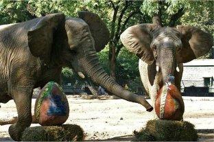 Las últimas elefantas del Ecoparque porteño empezaron el proceso para viajar al santuario de Brasil