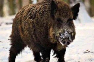 Preocupa la invasión de jabalíes en la Patagonia