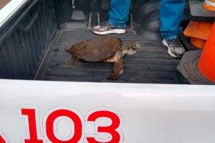 Rescataron un ejemplar de tortuga verde en Necochea