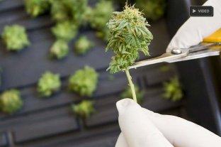 Un paso de Diputados hacia el autocultivo de cannabis -  -