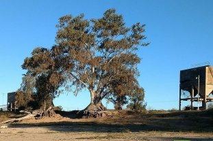 Puerto Aragón: vecinos al rescate de un viejo eucalipto