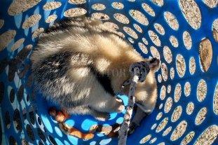 La Gallareta: rescataron un oso melero que entró a una vivienda -  -