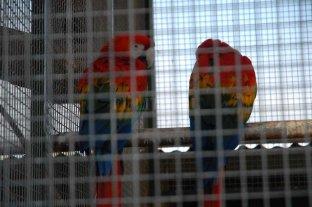 Robaron dos guacamayos  de la Granja La Esmeralda - Los guacamayos se ofrecen en el mercado negro como aves domésticas. Llegan a vivir cerca de 60 años -