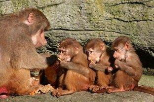 Descubrimiento: los monos pueden aprender gramática