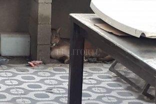 Insólito: Apareció un puma en el patio de su casa -