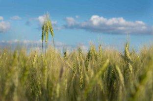 Se sembró con trigo el 92% de la superficie estimada