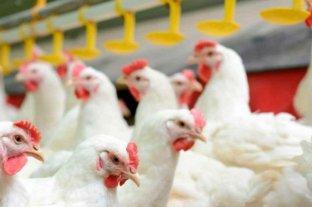 Creció la producción avícola
