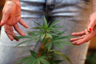 El Gobierno busca permitir el autocultivo de cannabis para uso medicinal  -  -