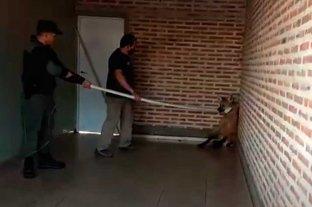 Un Aguará Guazú sorprendió a vecinos de San Justo