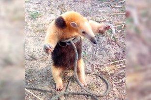 Un oso melero sorprendió a un productor de la zona rural de San Javier