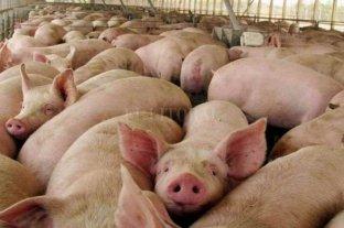 China viene a criar cerdos