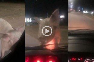Viral: una mujer se detuvo en el semáforo y un cerdo se le subió al capó