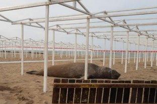 Un elefante marino se instaló en la playa y los Bomberos lo custodiaron