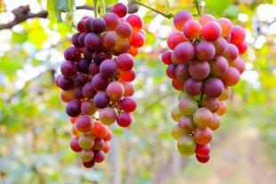 Aduana estableció el valor referencial de la uva para exportación