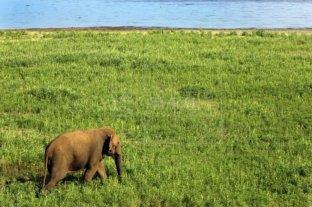 El número de elefantes asiáticos en cautiverio crece un 70 % en diez años
