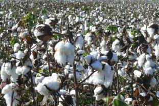 Presentaron tres nuevas variedades de algodón 100% argentinas