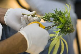 Concejo: aprobaron una regulación para el acceso seguro al cannabis terapéutico