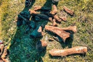 """Como en la película """"La Era de Hielo"""", pero en Santa Fe: identifican restos de un perezoso"""
