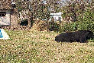 Insólito: Apareció un toro en el patio de una casa de Arroyo Leyes