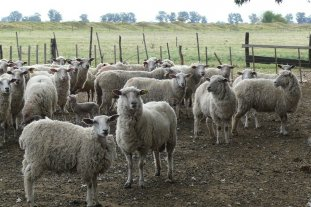 El eterno dilema de la producción ovina