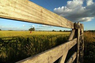 El trigo responde bien a la fertilización