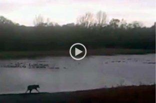 Video: por primera vez registran un aguará guazú en la reserva ecológica de Ciudad Universitaria