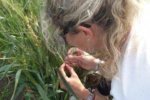 Tecnología para un trigo más competitivo