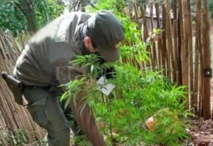 Corrientes: tenían 12 plantas de marihuana pero pensaban que era mandioca -
