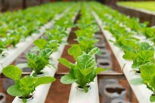 San Carlos Centro: la producción hidropónica crece de la mano del Jardín Botánico