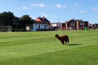 Video: Una alpaca interrumpe en un partido de fútbol