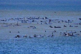 Hallaron 275 ballenas varadas en el sur de Australia
