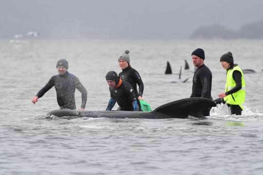 Prosiguen los esfuerzos en el rescate de las ballenas en el puerto de Macquarie. Crédito: Reuters