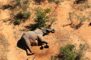Hallan al responsable de la misteriosa muerte de cientos de elefantes en Botsuana