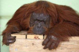 Miami: una familia de orangutanes se gana un retiro a la reserva para grandes simios