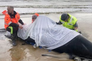 Unas 380 ballenas murieron tras quedar varadas en el sur de Australia y 88 fueron rescatadas